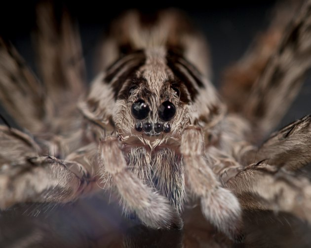 Face of a Wolf Spider