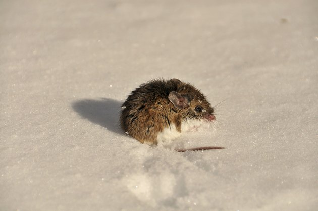 Mouse on snow