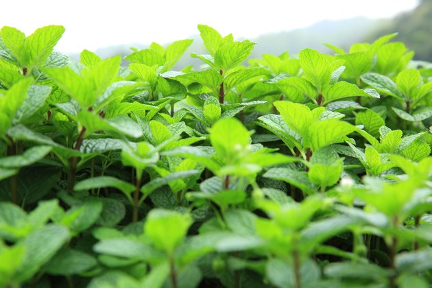 What Are The Different Types Of Mint Plants Hunker