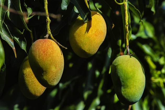 Close-up view of mangoes in the tree.