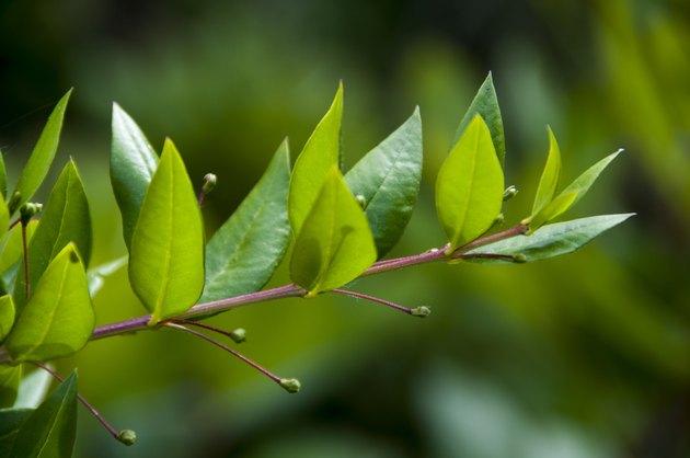 gros plan d'une branche feuillue de myrte avec ses jeunes fruits au printemps dans le maquis Corse