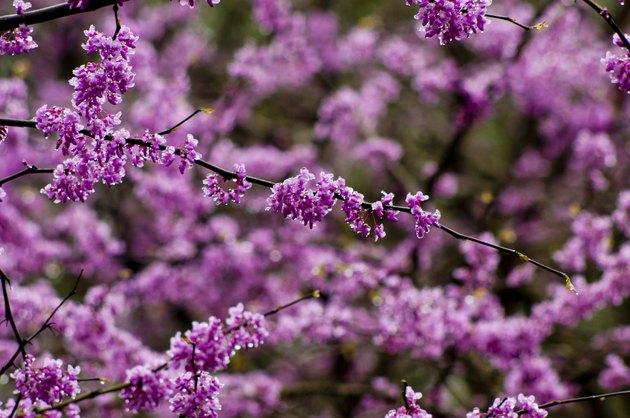 Close-up Redbud Tree in bloom.