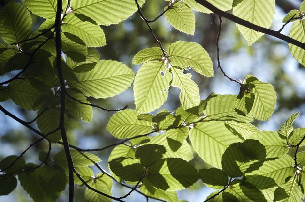 Spring elm leaves