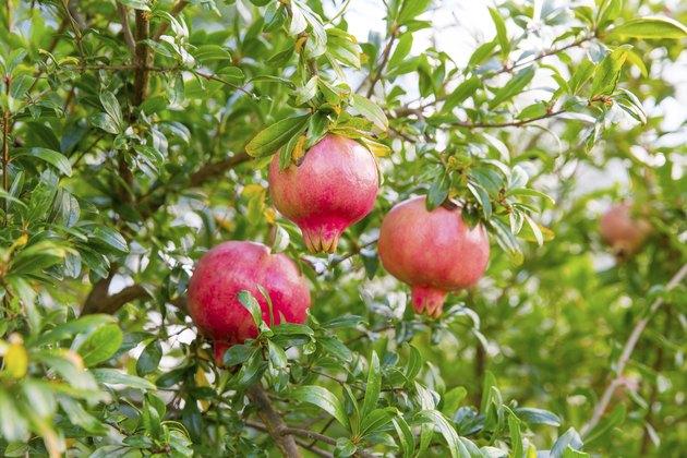 Organic pomegranate tree