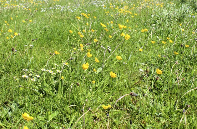 Image of a wildflower meadow with grass, buttercups and daisies