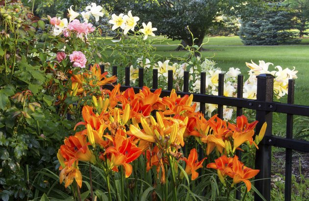 Daylilies in Bloom in Ohio
