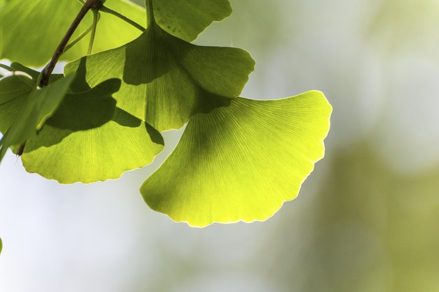 Closeup of ginko leaves under the sunshine