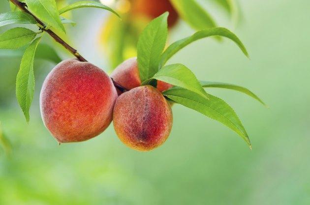 Peach fruits on a tree