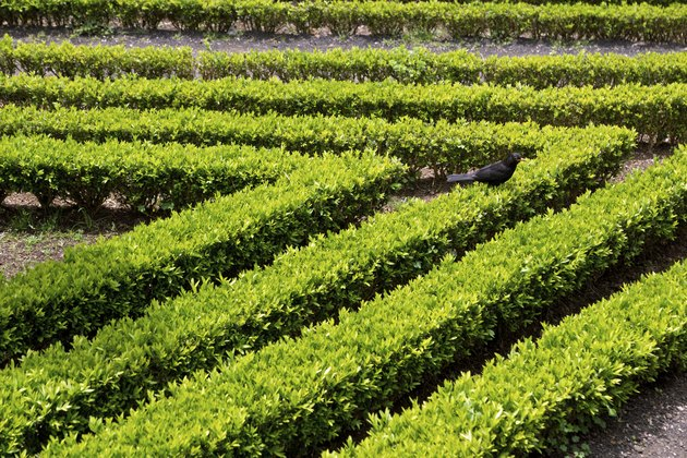 Decorative green hedge
