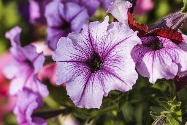 blossoming magenta petunia flowers