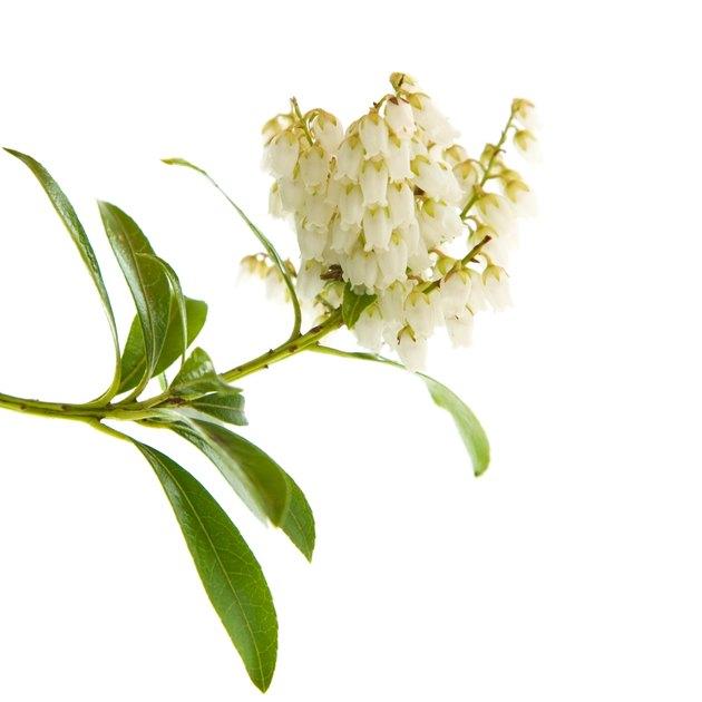 flowering Pieris japonica