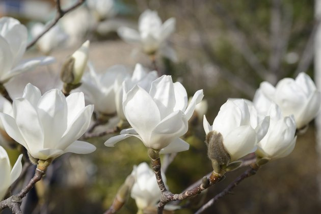 beautiful white magnolia flower with fresh odor