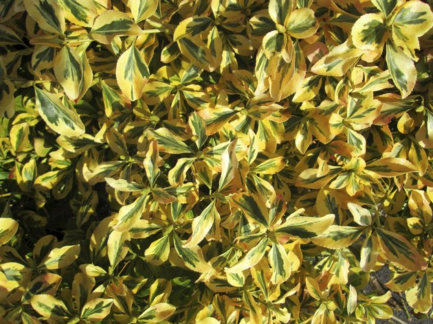 Close-up image of variegated euonymous fortunei