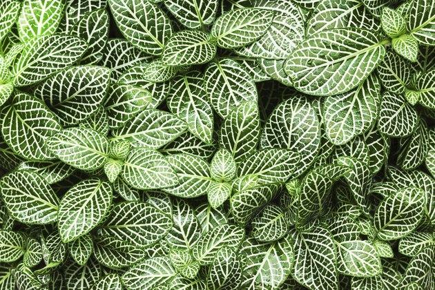 striped leaf ornamental plants close up