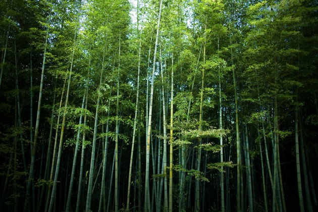 Tall green Bamboo forest in Japan