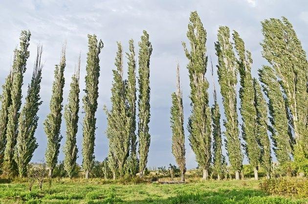Woodland belt poplar