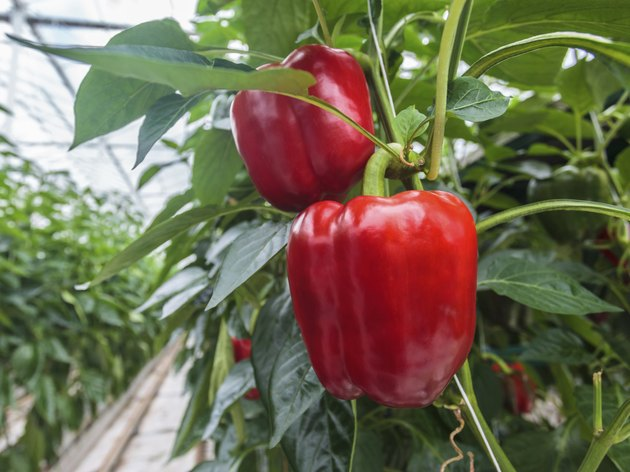Red bell peppers in a greenhouse