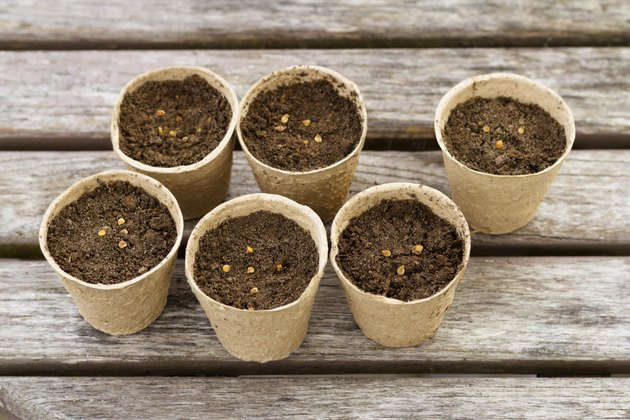 Tomato seeds in peat pots
