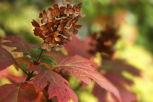 Oakleaf Hydrangea in the Fall