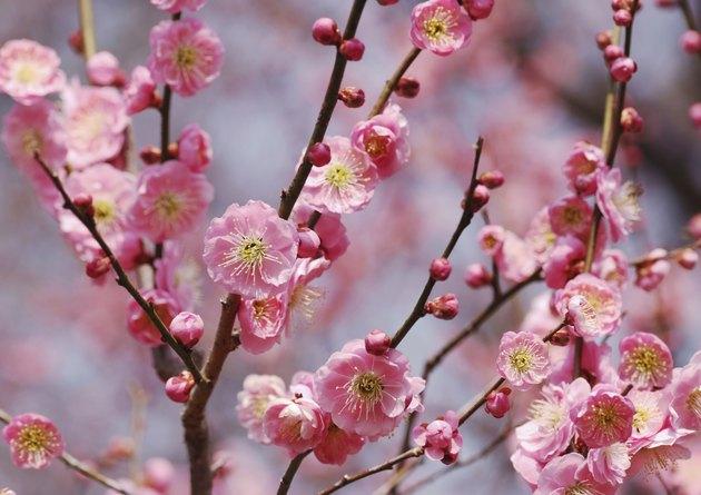 Pink plum bloosom in Japan