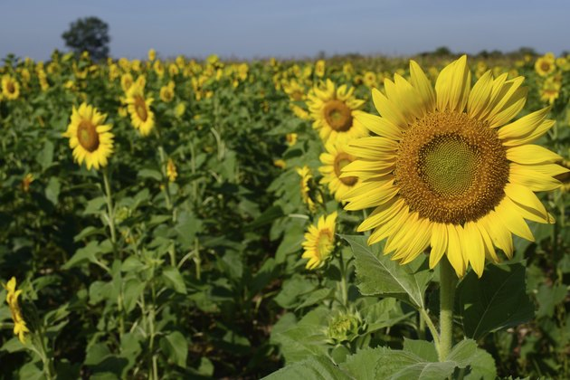 Beautiful yellow sunflower with bluesky background