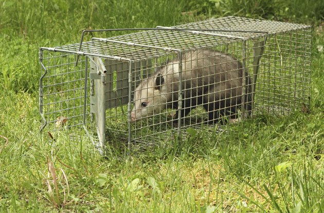 Trapped Virginia Opossum