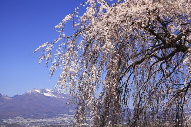 Weeping Cherry Tree Disease Hunker