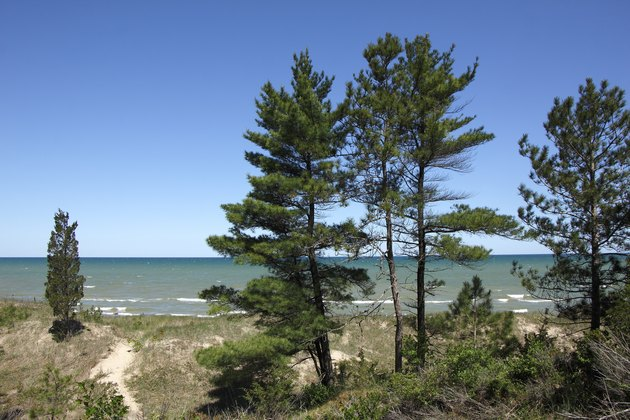 Eastern White Pines on Sand Dune Ridge