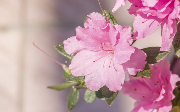 Spring flowers series, blooming Pink Azalea flowers