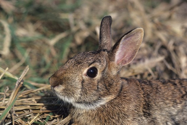 Eastern cottontail rabbit, close-up of head, North America