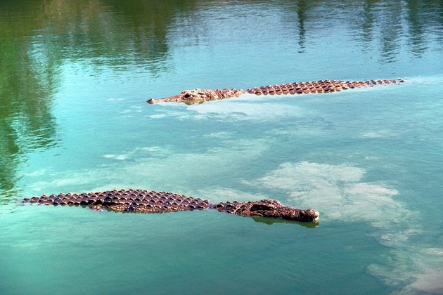 Nile crocodiles