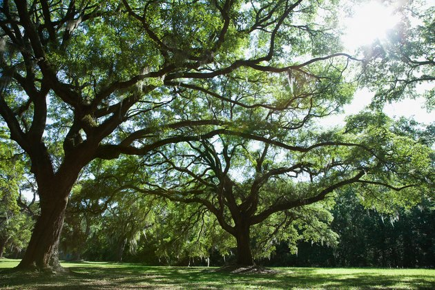 Trees With Strong Deep Roots