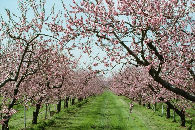 Blossoming peach trees in orchard, Canada