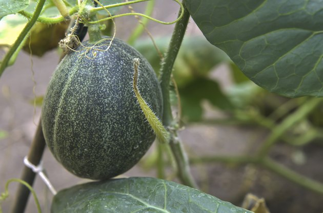 Growing cantaloupe in a garden