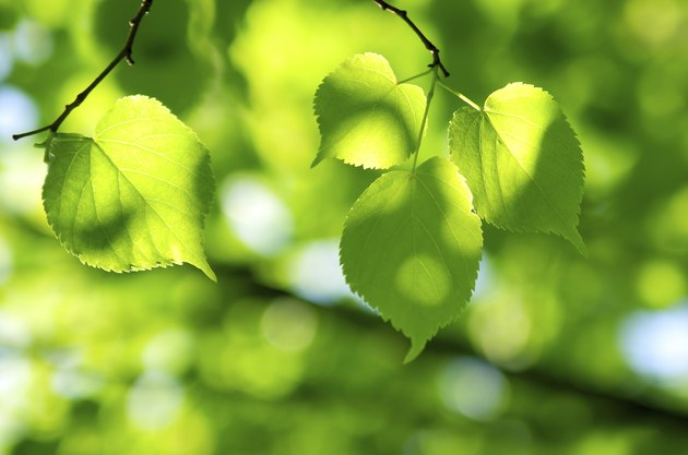 Green leaves in sunlight