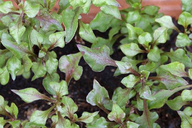 Red Watercress (Nasturtium officinale)