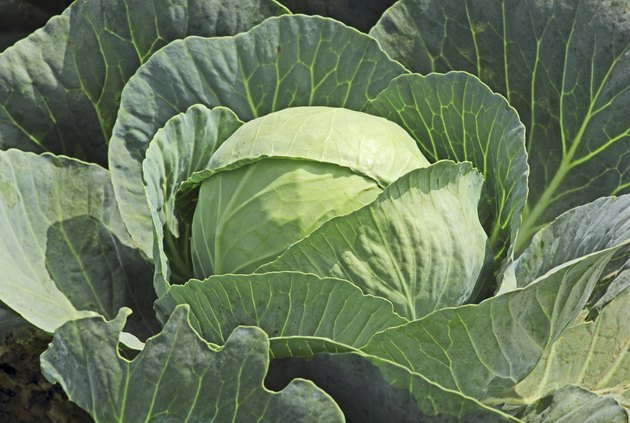 What to Do When Bugs Are Eating Your Cabbage Plants in the Garden