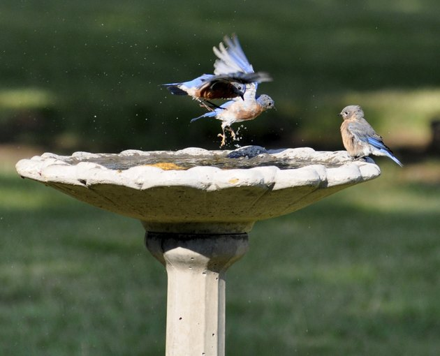 Bluebirds, birdbath, in and out