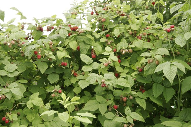 Bush of raspberries