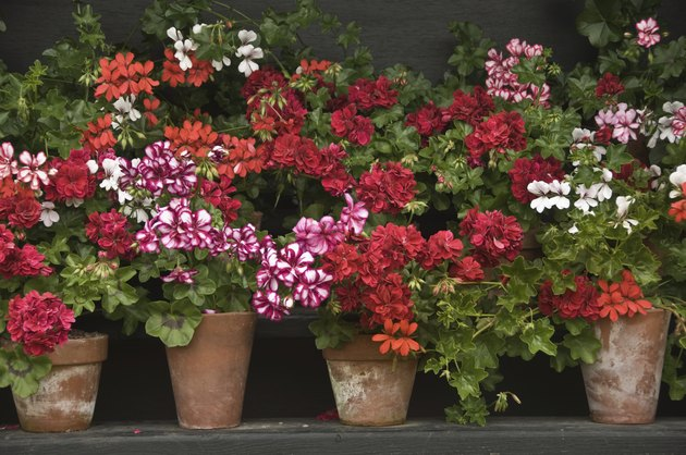 Pots of colourful geraniums