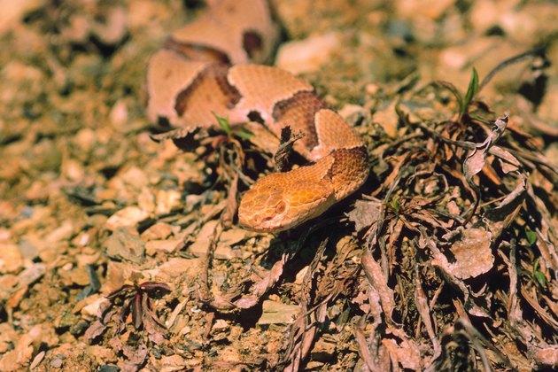 Copperhead snake in desert