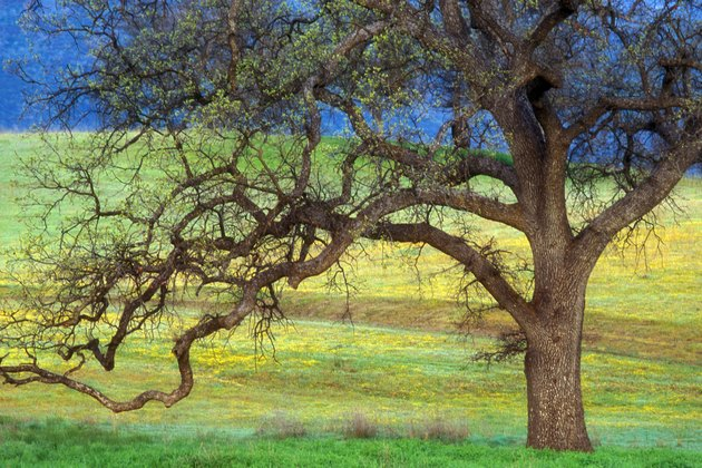 Oak Tree  California  USA