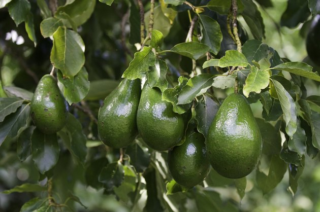 Bunch of ripe avocados