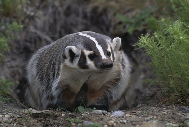 American Badger in Burrow