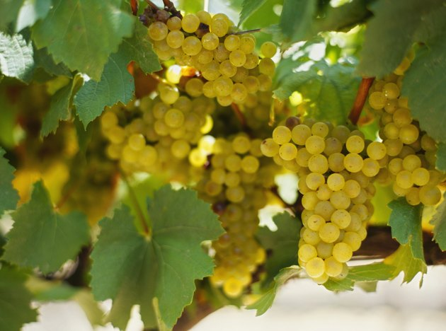 close-up of a bunch of grapes in a vineyard