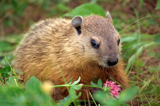 Groundhog eating a wildflower blossom