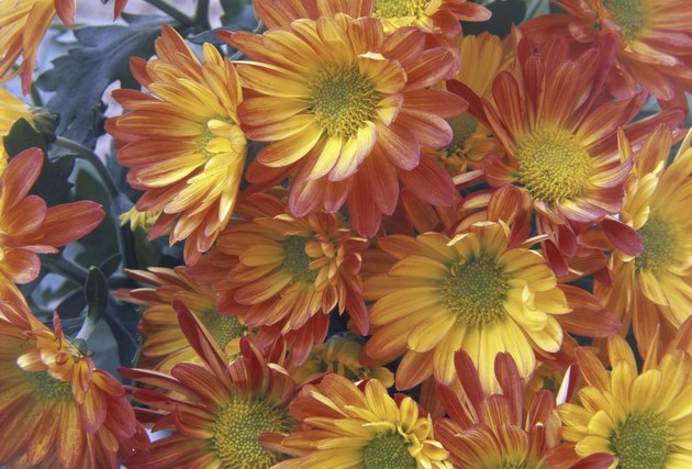 Close-up of chrysanthemums