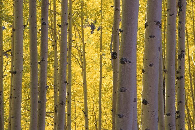 Grove of aspen trees or birch trees