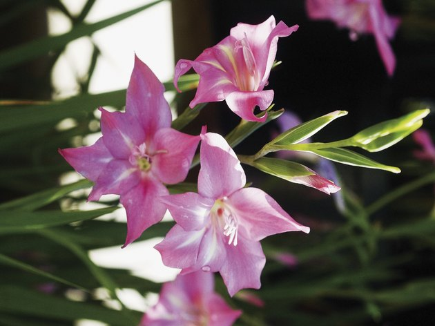 Pink Gladiolus flowers