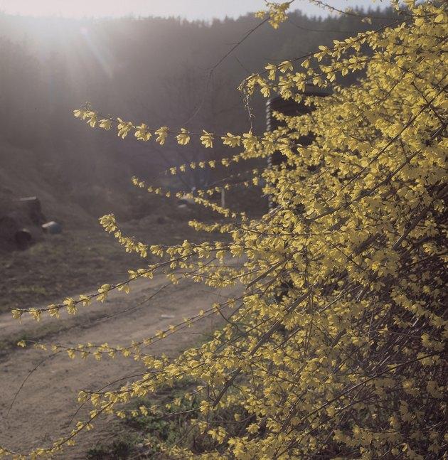 Blossoming forsythia on roadside